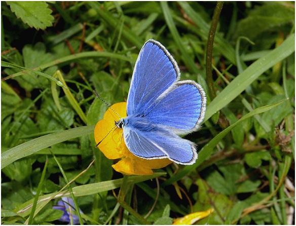 Azul-comun